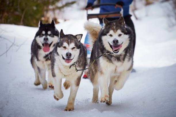 Attelage de chiens de traineau courant sur la neige l'hiver à la montagne