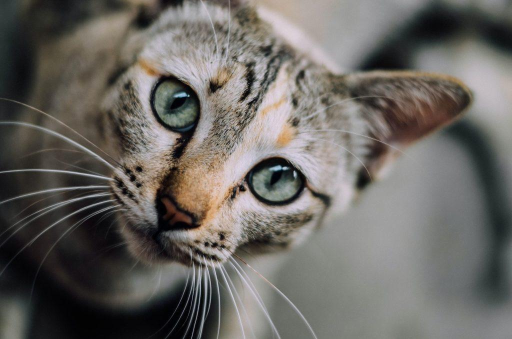 Gros plan sur un chat tigré